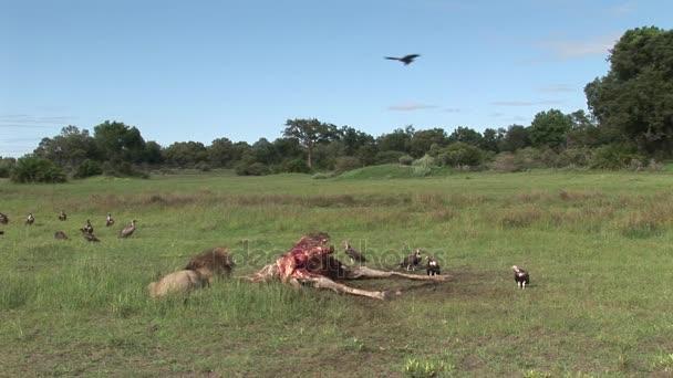 Vad fakókeselyű és oroszlán, zsiráf-Afrika szavanna Kenya eszik