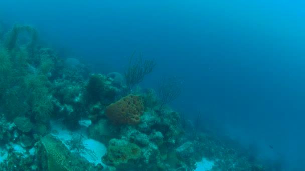 coral life caribbean sea Bonaire island underwater diving  1080P video