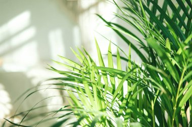 Close up of green fresh tropical houseplant palm leaves with blurred light and shadow wall background. Urban jungle interior concept.
