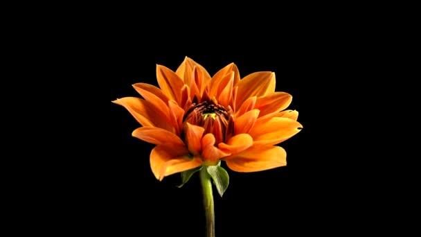 Time-Lapse of Growing and Opening Orange Dahlia (Georgine) Isolated on Black Background