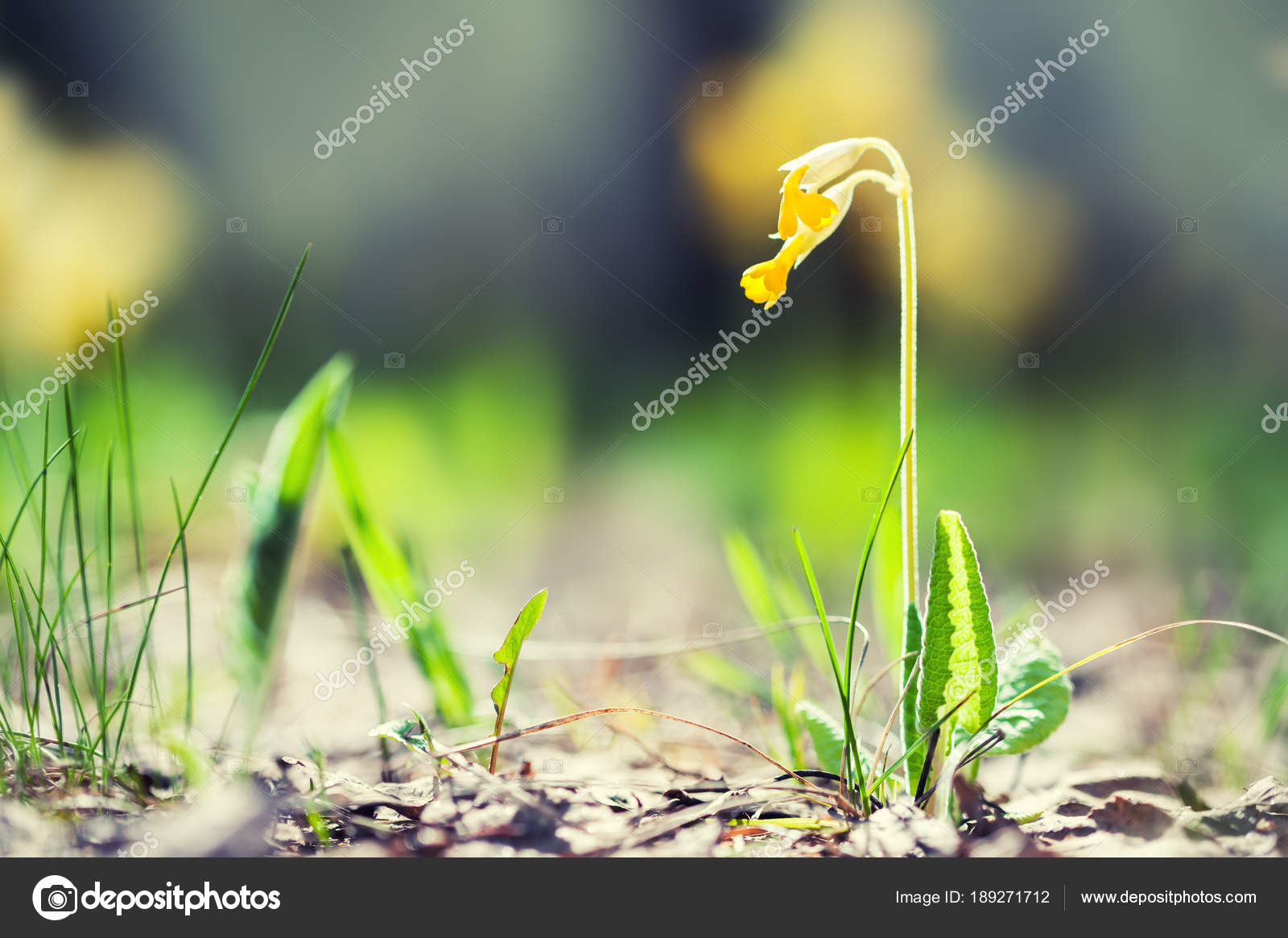 Wild Yellow Flowers Blooming In The Spring Forest Stock Photo