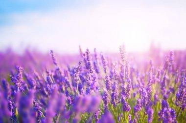 Lavender flowers in the morning sunlight.