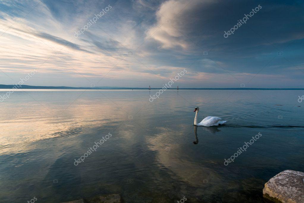 swans on Balaton lake