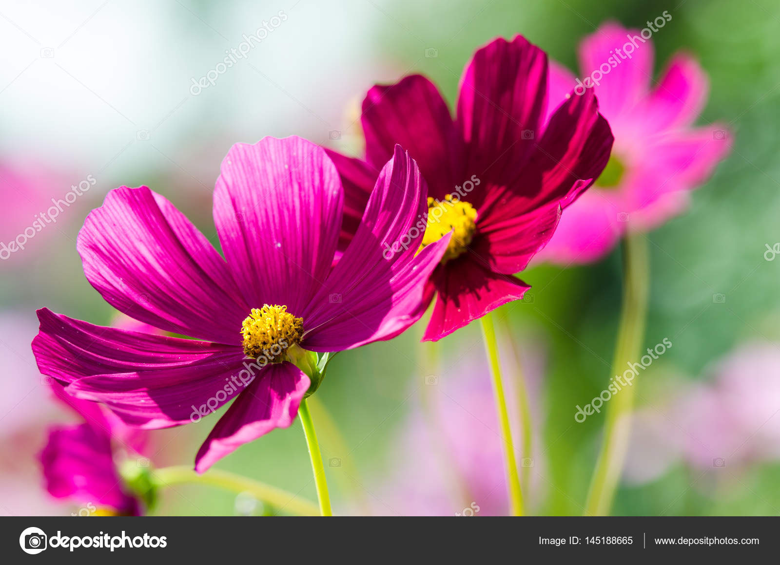 Beautiful Pink Summer Flowers Stock Photo Klagyivik 145188665
