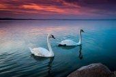 krásné labutě v lake Balaton