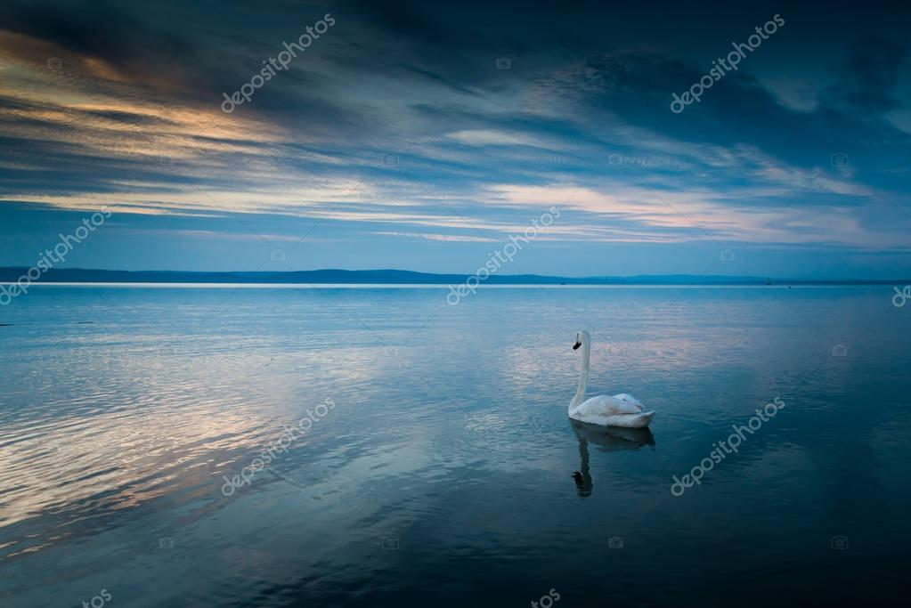 beautiful swan in lake Balaton