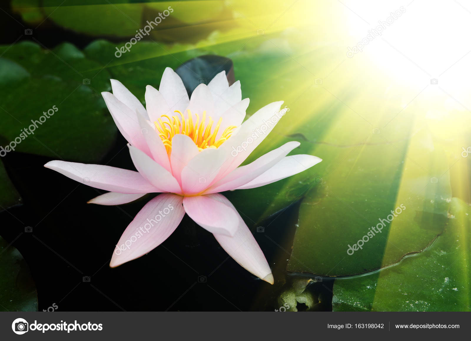 Beautiful lotus flower stock photo klagyivik 163198042 beautiful lotus flower on pond photo by klagyivik izmirmasajfo Images
