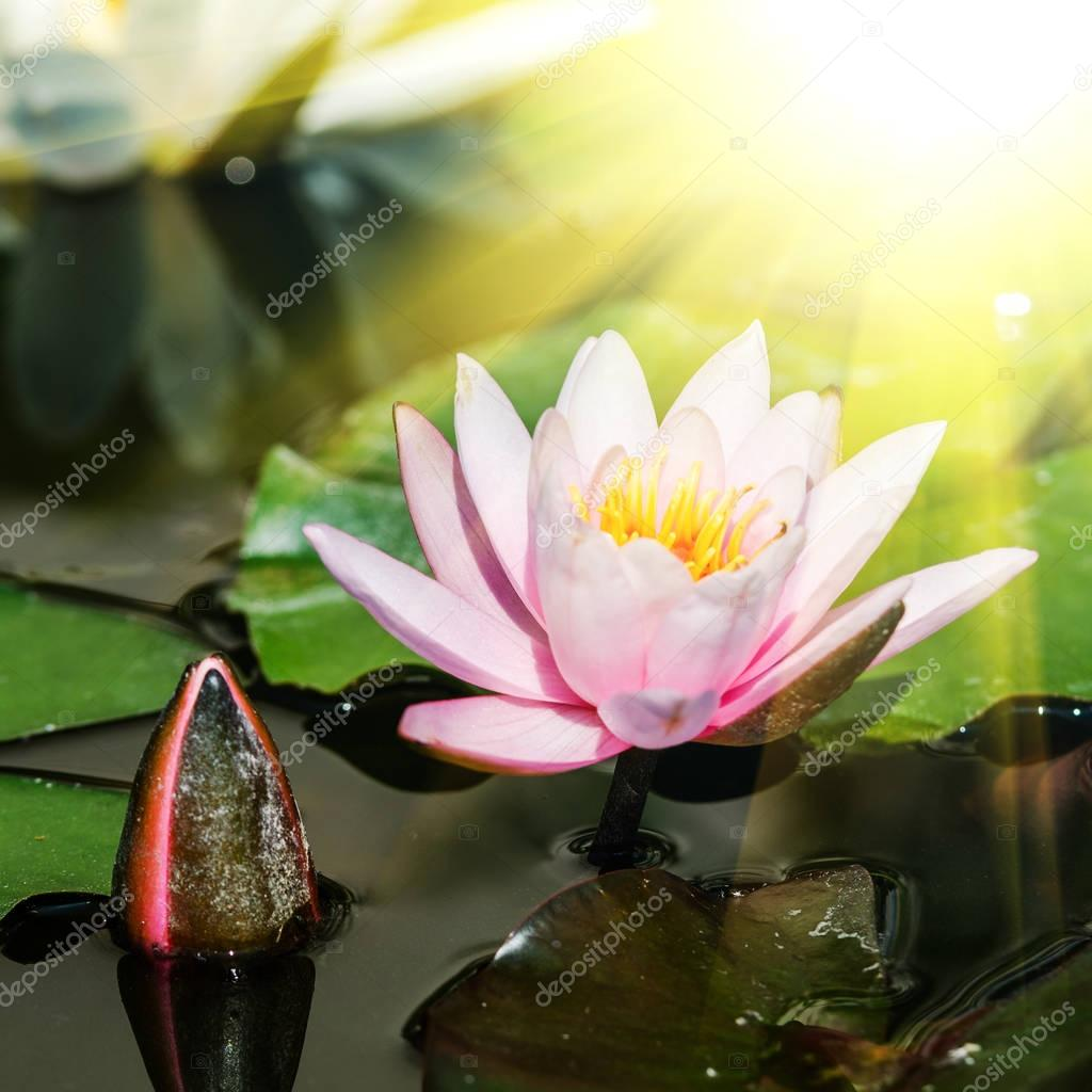Lotus flower with bud