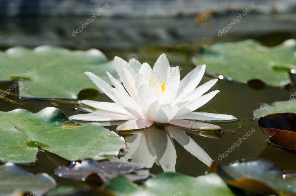 beautiful white Lotus flower