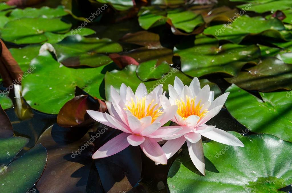 water lilies blossom on lake