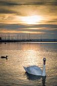 a tó gyönyörű hattyú