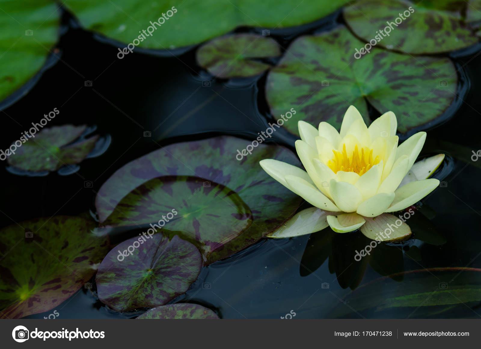 Beautiful lotus flower stock photo klagyivik 170471238 beautiful lotus flower in water photo by klagyivik izmirmasajfo Images