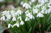 Fotografie white snowdrop flowers in spring, selective focus