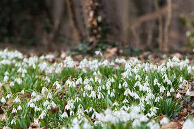 white snowdrop flowers in spring, selective focus