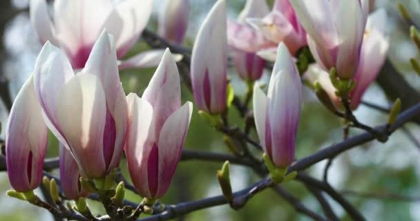 Krásná magnólie květiny na jaře.