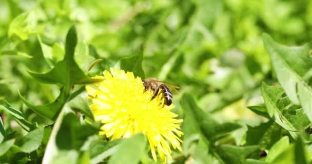 spring blossom. Bee on yellow flower.