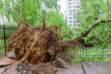 Gigantic fallen poplar tree toppled and cracks in asphalt as a result of the severe hurricane in one of courtyards of Moscow
