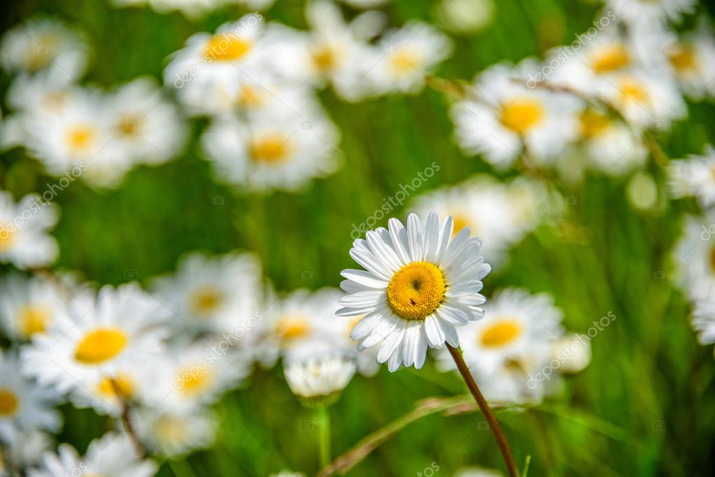 Close-up alone chamomile in focus on a background of a blurry camomile field