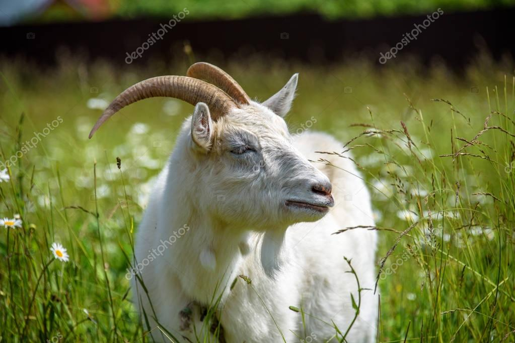 Close-up alone male goat in focus on a background of a blurry camomile field and meadow