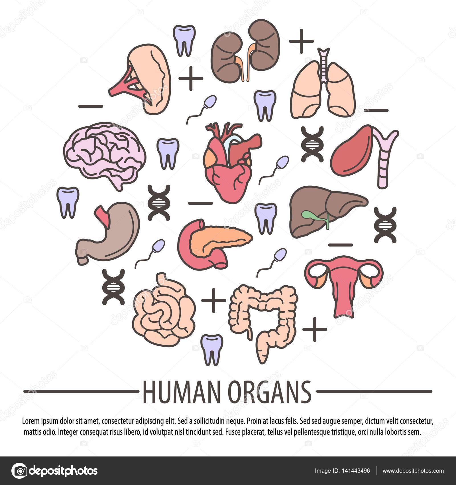 Anatomie des menschlichen Körpers — Stockvektor © Sonulkaster #141443496