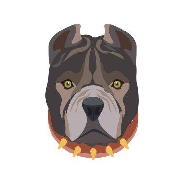 American Pit Bull in dog collar