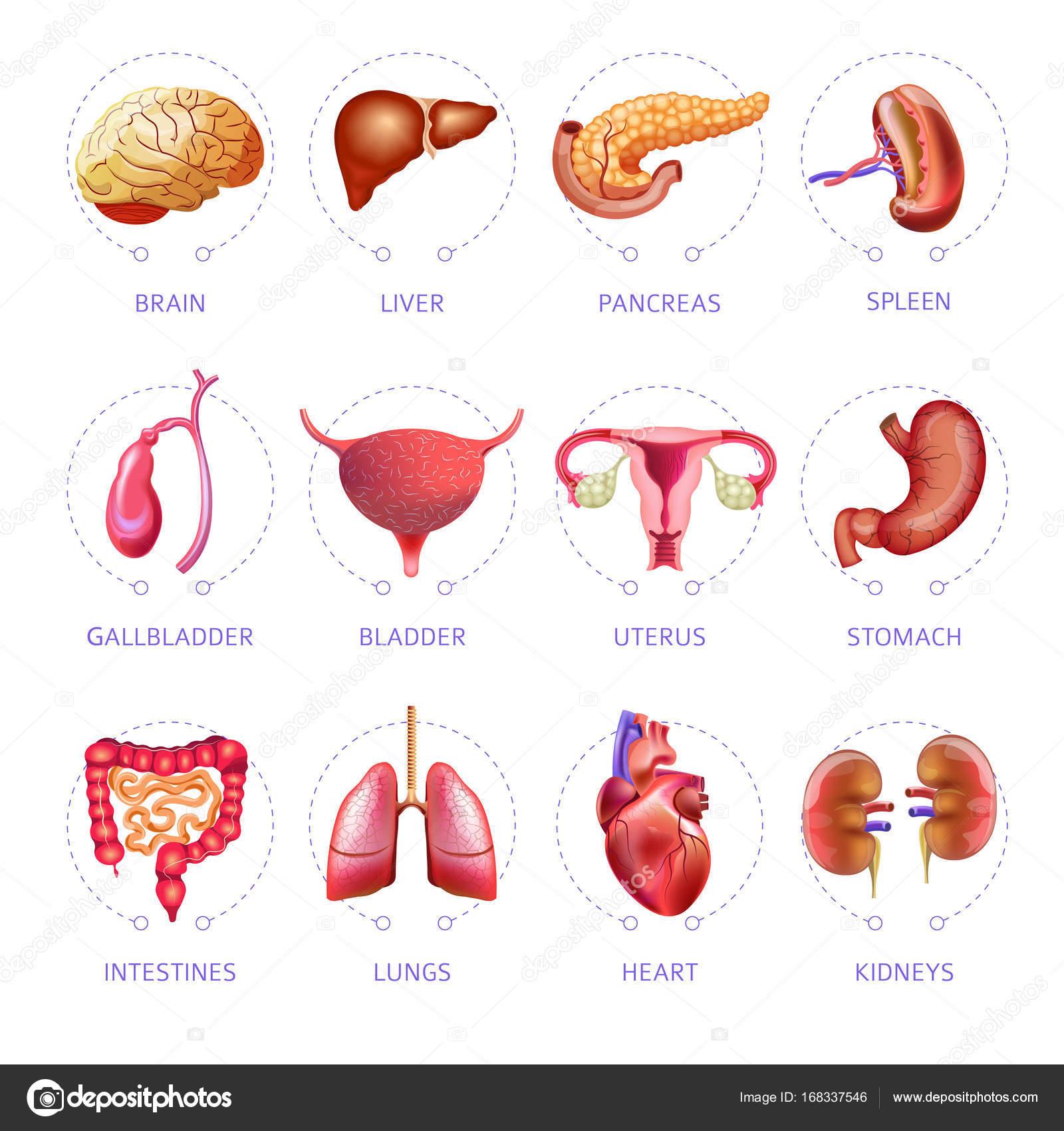 órganos internos del cuerpo humano — Vector de stock © Sonulkaster ...