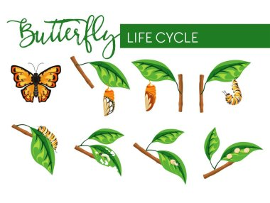 Butterfly insect life cycle larva transformation vector biology and nature evolution caterpillar stage and cocoon eggs and larva flying bug with bright wings branch with leaf monarch species