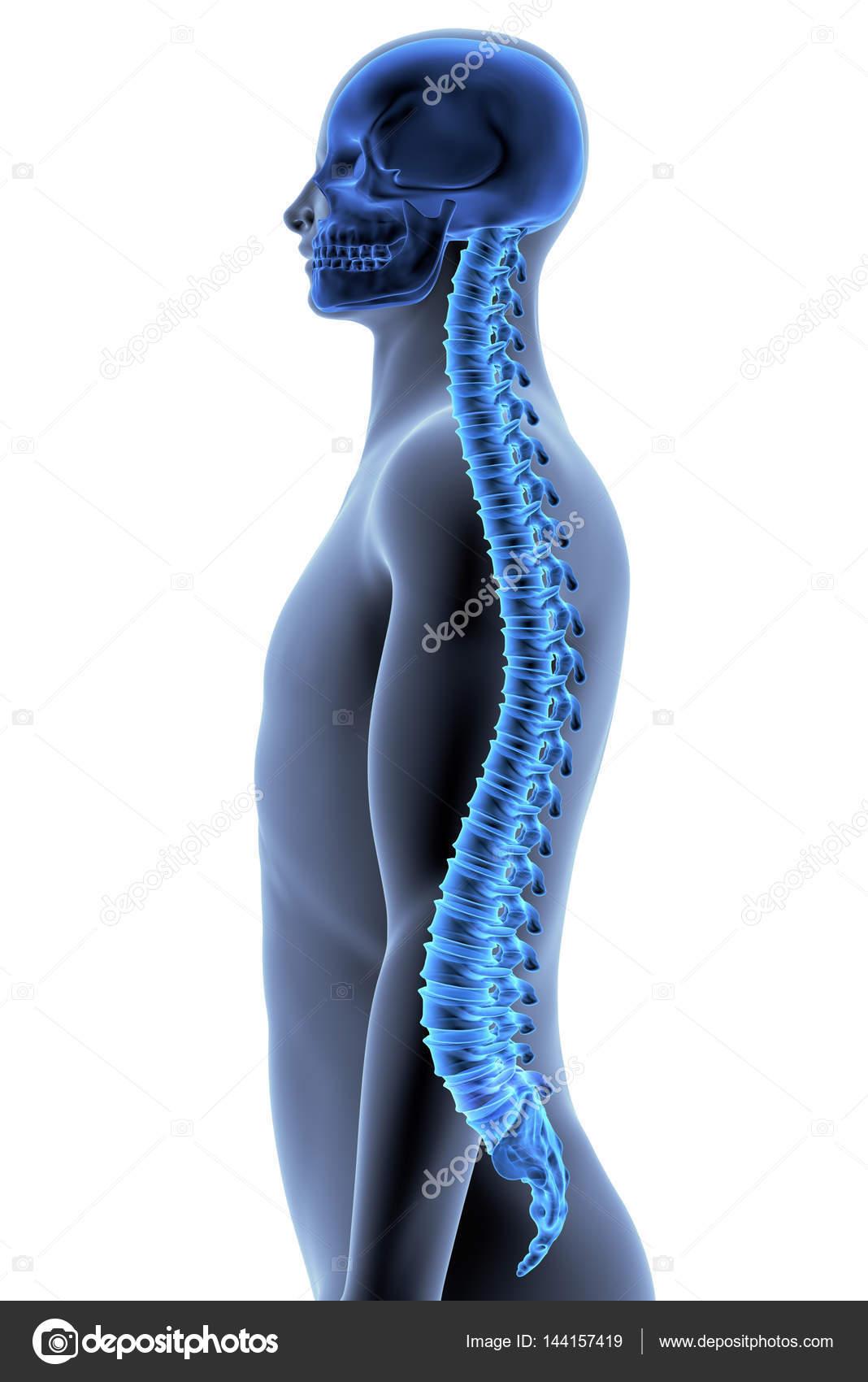 Der menschliche Körper - Wirbelsäule — Stockfoto © wukasa #144157419