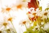 white summer daisy flowers