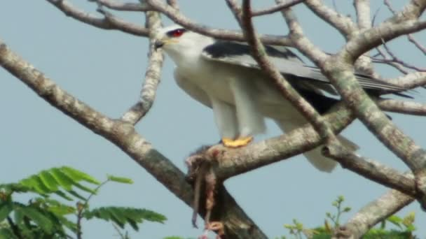Black Shouldered Kite Eagle (Elanus axillaris)