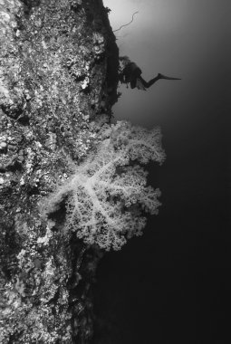 SUDAN, Red Sea, U.W. photo, tropical alcyonarian (soft coral) and a diver - FILM SCAN