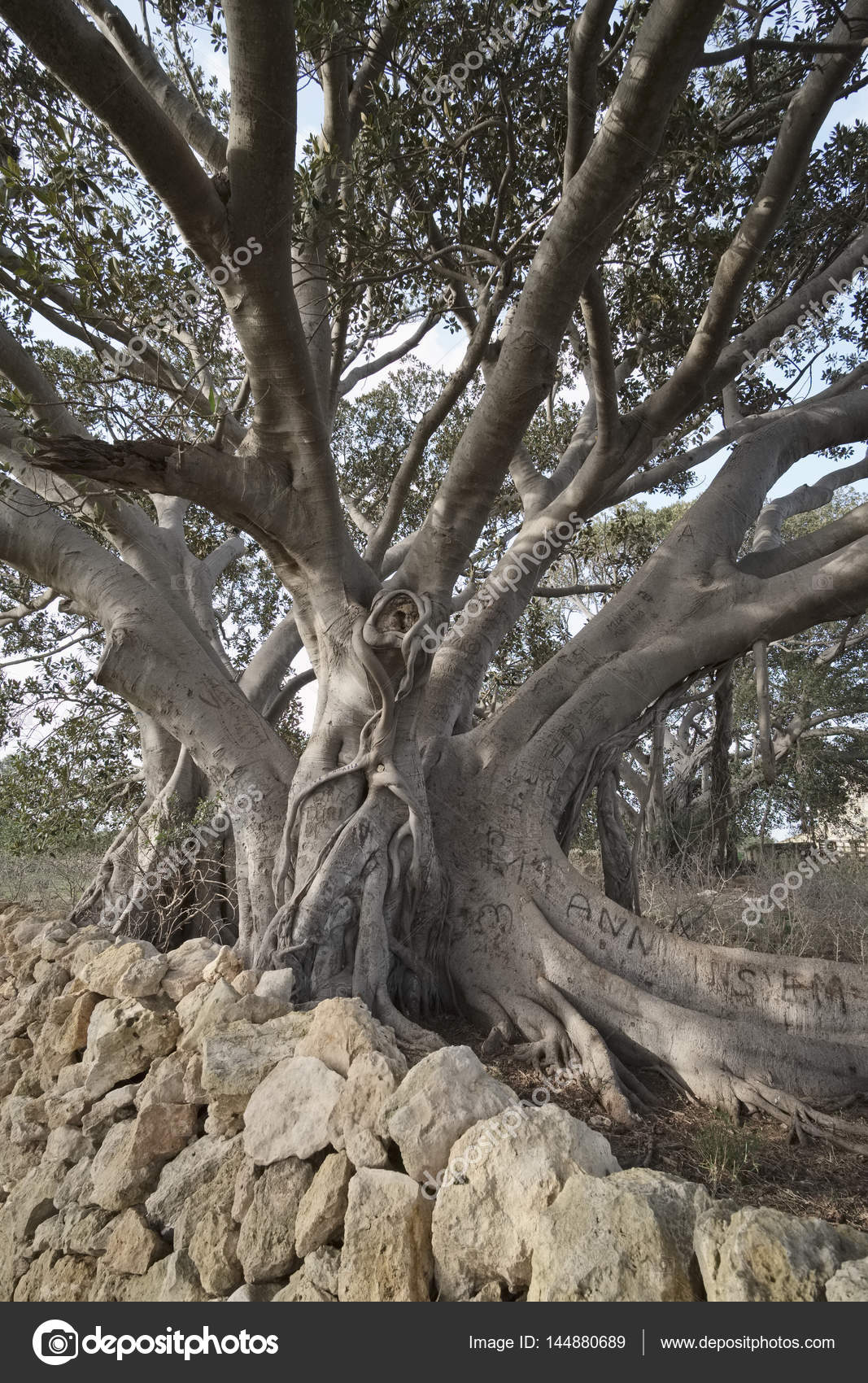 Italy Sicily Countryside Ragusa Province The Roots Of A Huge
