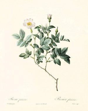 Rosa farinosa vintage illustration