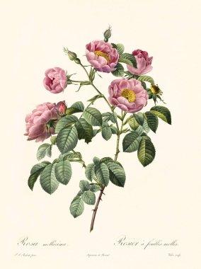 Rosa mollissima vintage illustration