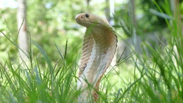 a természetes élőhelyeken ázsiai veszélyes cobra-kígyó