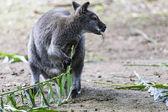 Fotografia canguro è mangiare germogli verdi