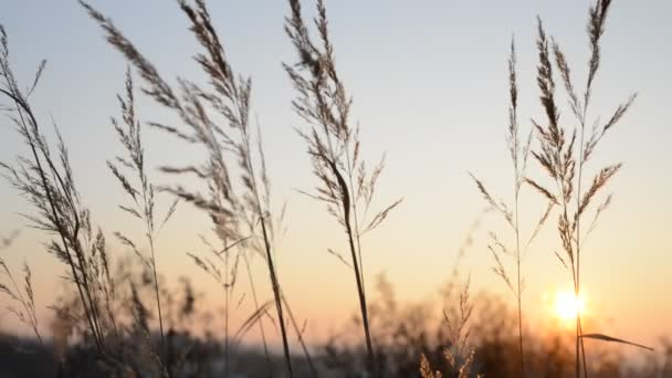 Dry grass in the sunset