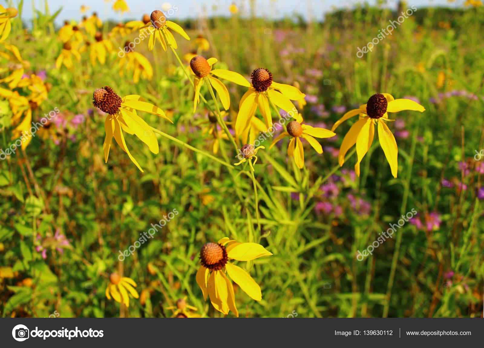 Yellow Prairie Wildflowers Lit By The Sun Stock Photo Danross