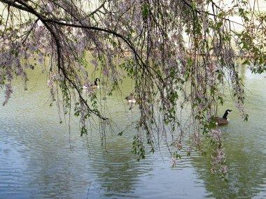 Tysons Corner Cherry Blossom over pond 2010