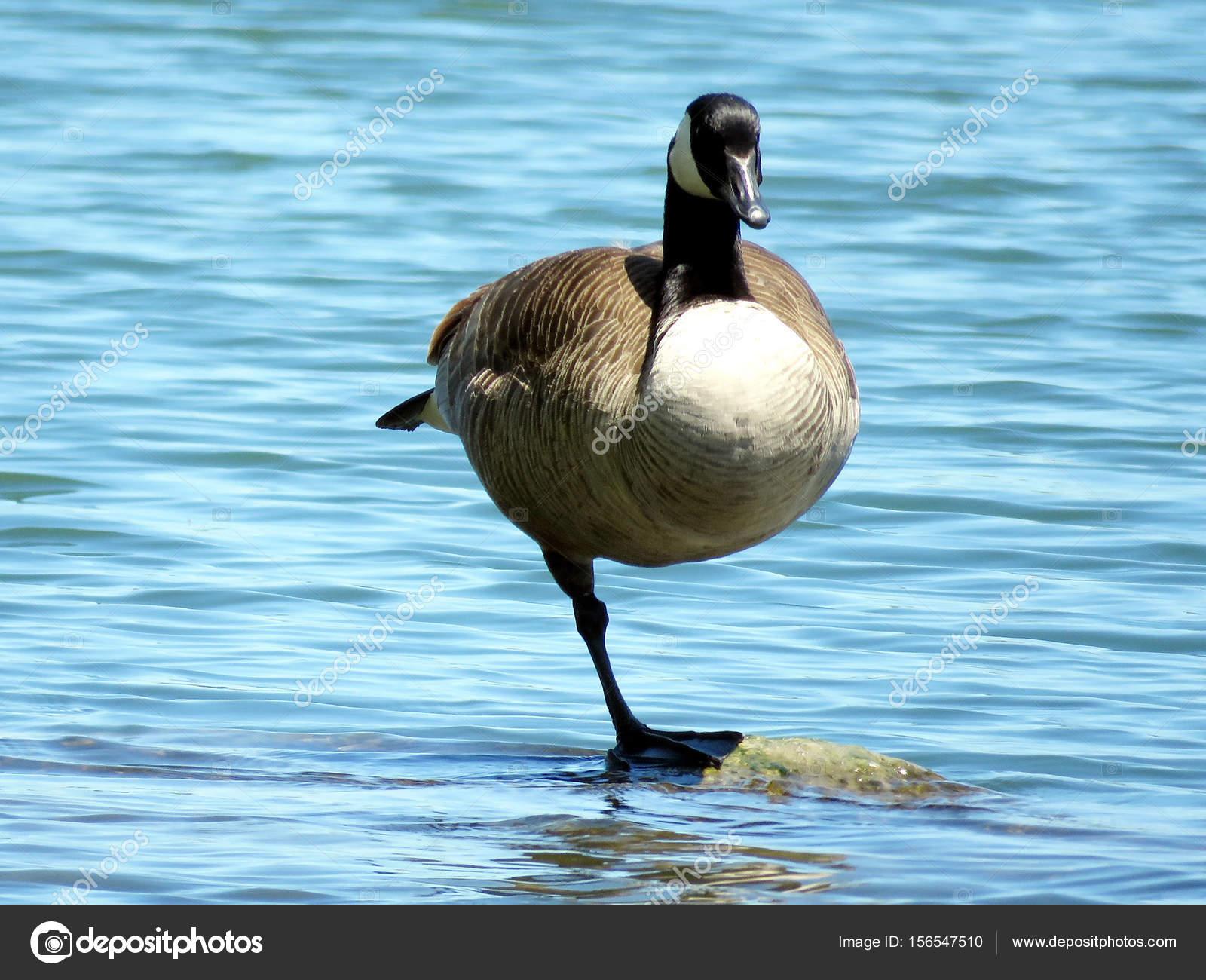 canada goose 2017 AZZURRO