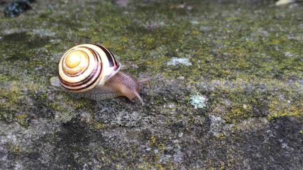 White-lipped Snail on a wall
