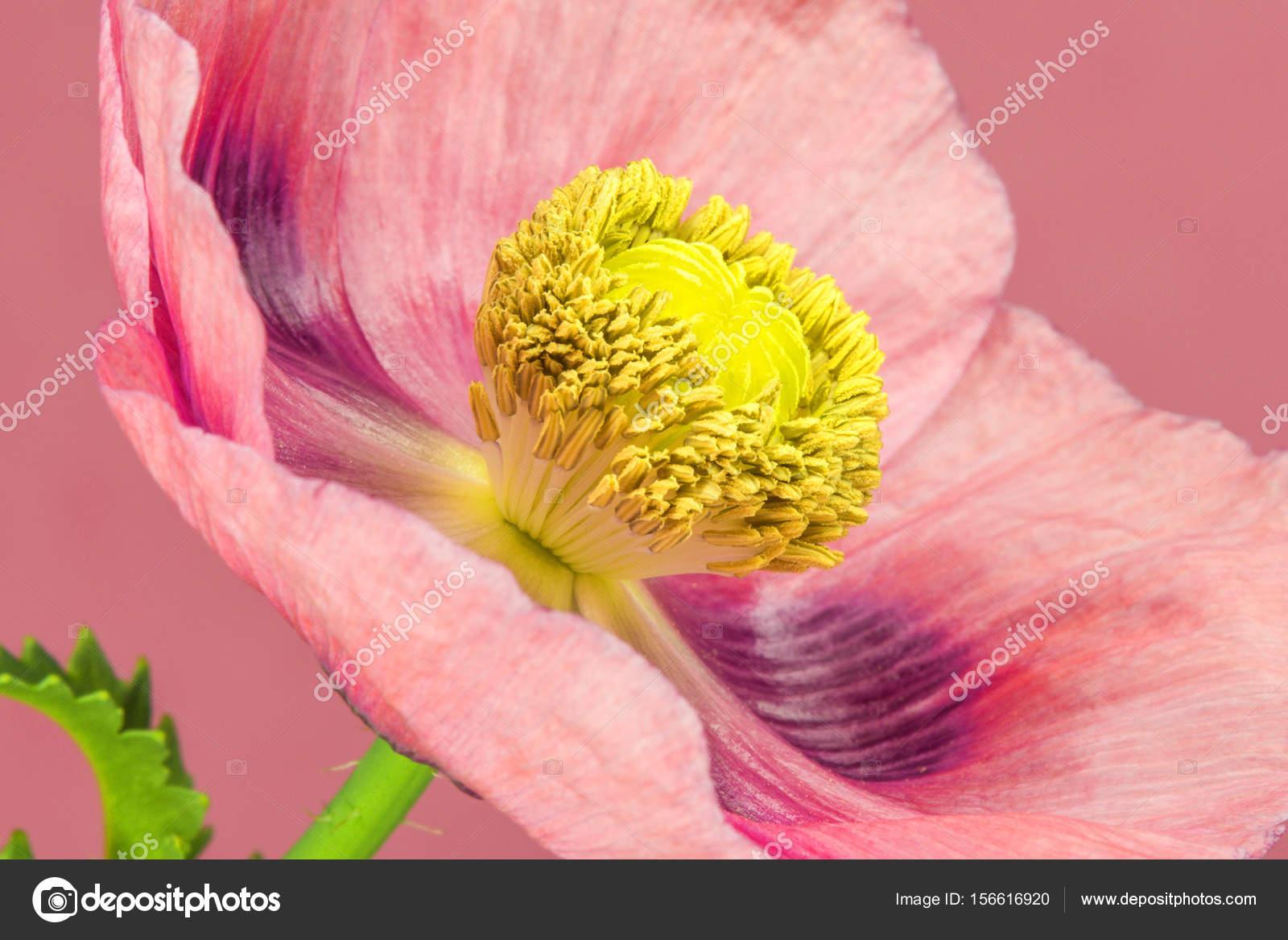 Opium Poppy Flower Stock Photo Jochenschneider 156616920