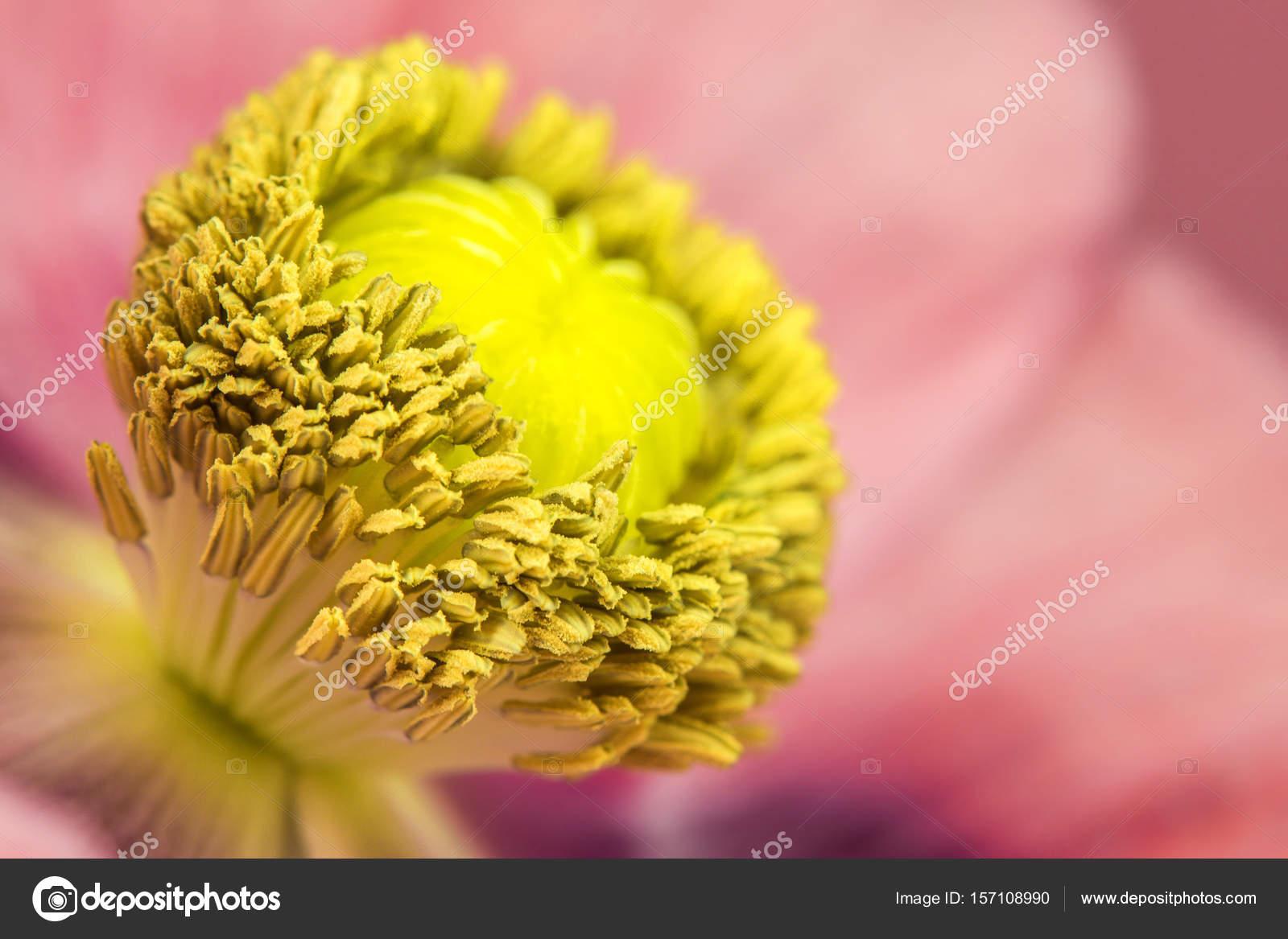 Opium Poppy Flower Stock Photo Jochenschneider 157108990