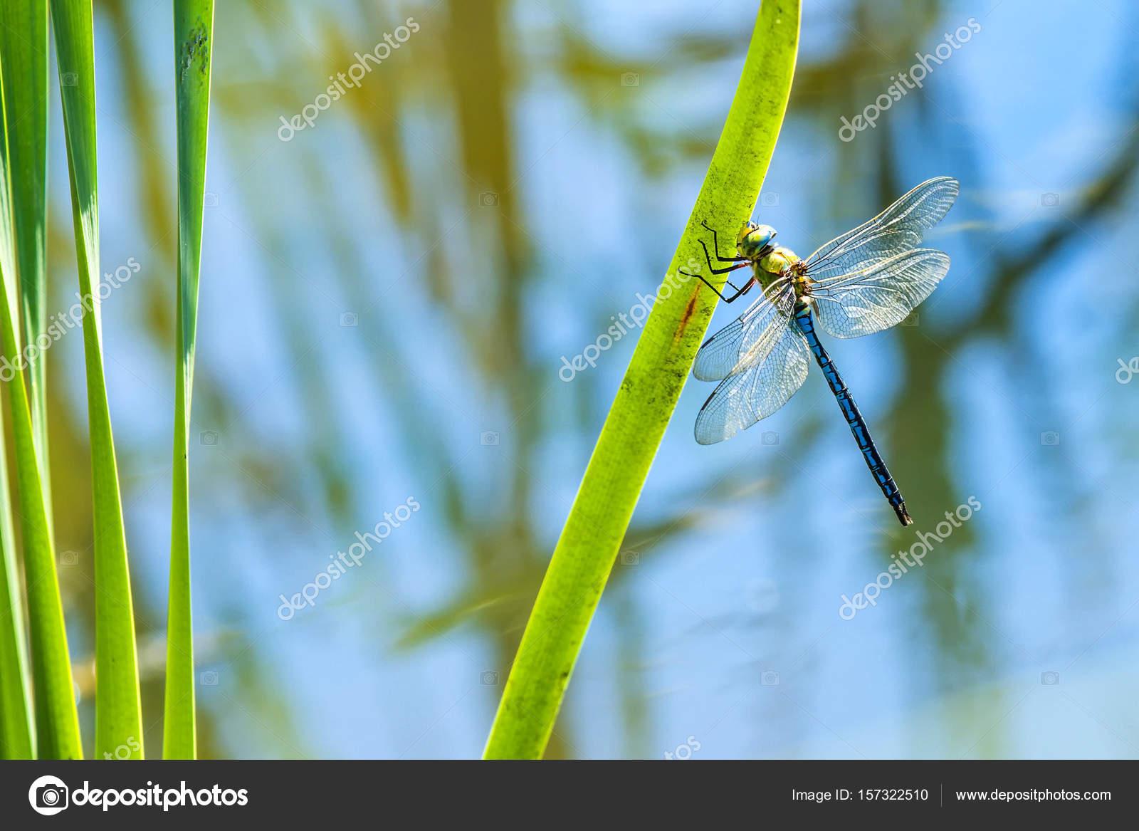 Die Kaiser-Libelle, Männlich — Stockfoto © jochenschneider #157322510