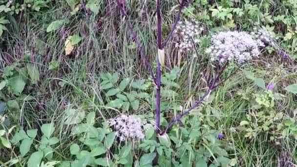 Divoké angelica, Angelica sylvestris, léčivých rostlin s květinou