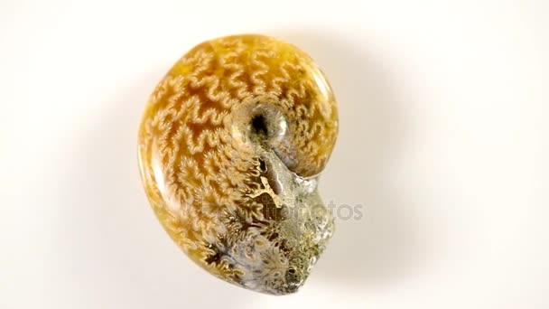 Ammonite na otočný stůl, opalizující