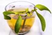 Mistletoe, tea with fresh mistletoe  branch