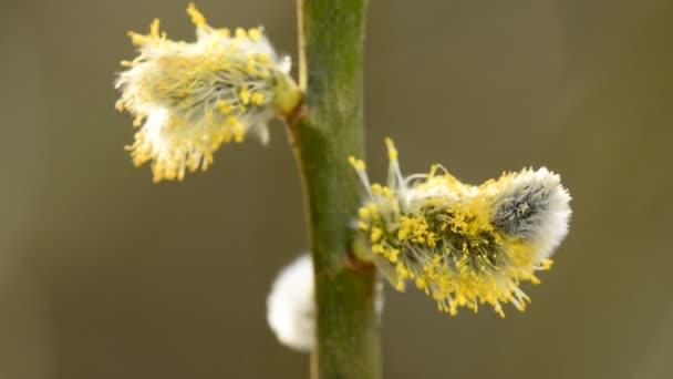 Fűzfa virág-tavaszi