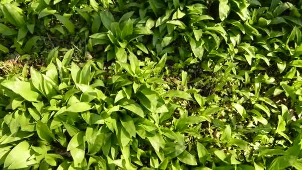 divoký česnek na jaře, zelenina a léčivé byliny v německém lese se stopami