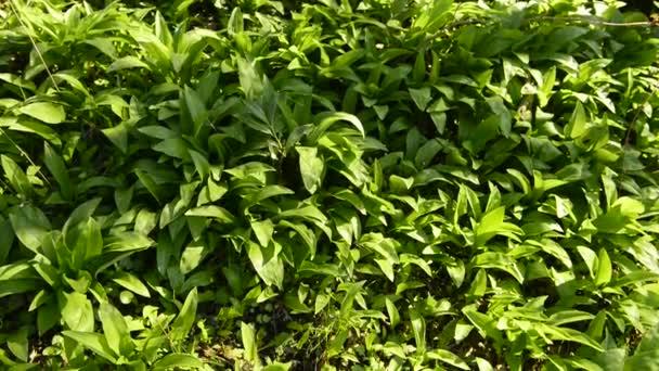 Bärlauch im Frühling, Gemüse- und Heilkraut im deutschen Wald mit Spurensuche